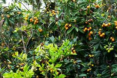 Loquat tree (Bracus Triticum) Tags: loquat tree kōchiprefecture 高知県 shikoku 四国 日本 japan bicycletriparoundshikoku 4月 四月 卯月 shigatsu uzuki unohanamonth 2019 平成31年 spring april