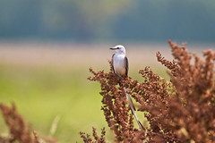 scissor tail on weeds ( explore ) (G_Anderson) Tags: scissortail flycatcher missouri birding field