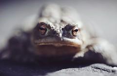 Nicht die Kröte überfahren, die sich in der Einfahrt sonnt, das Eis für morgen und sie in an unterschiedlichen Plätzen in Sicherheit bringen und wieder los. (Manuela Salzinger) Tags: kröte tier frühling spring
