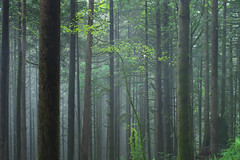 Mist (Kristian Francke) Tags: outdoors forest nature landscape tree trees fog mist green plant plants moss photography bc canada