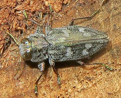 Metallic Wood-Boring Beetle, Chrysobothris femorata species-group, Hunterdon County Arboretum, Lebanon, NJ (Seth Ausubel) Tags: buprestidae coleoptera buprestinae