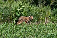 Mills County, Iowa June 1, 2019 (Doug Lambert) Tags: coyote mammal nature wildlife southwestiowa millscounty iowa canon100400ii canon7dmarkii animal