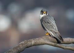 Hunter of the Hudson (rob.wallace) Tags: peregrine falcon raptor nj hudson river