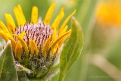 Arrowleaf Balsamroot budding (scepdoll) Tags: flower arrowleafbalsamroot wildflower grandtetonnationalpark jacksonhole wyoming jackson