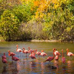 Congregate (Thomas Hawk) Tags: america flamingo forestpark missouri mo saintlouiszoo stlouis usa unitedstates unitedstatesofamerica bird birds flamingos tree trees zoo fav10