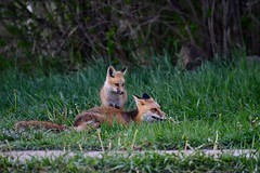 Fox Den (Larry Lamsa) Tags: fox redfox foxden kits den gunnison gunnisoncounty lamsa colorado kit foxes youngfoxes