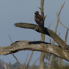 Aquila audax (Diana Padrón) Tags: wedgetailed eagle aquila audax