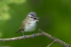 CA3I2683-Red-eyed Vireo (tfells) Tags: redeyedvireo bird nature wildlife newjersey baldpatemountain vireoolivaceus mercer