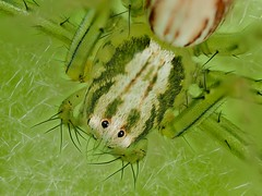Green (dayonkaede) Tags: spider nature macro green leaf insect bug thorn eye olympus em1markii mzuiko digital ed 60mm f28