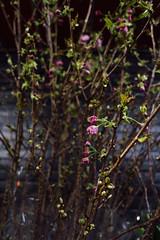 Blossoms (JoelZimmer) Tags: 24mmf28 bokeh brooklyn florals newyork nikond750 parkslope