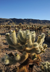 Joshua Tree NP - Cholla Garden - 2019 (tonopah06) Tags: chollacactusgarden cholla cactus joshuatreenationalpark 2019 california ca pintobasin olddaleroad road coloradodesert desert nikon d700