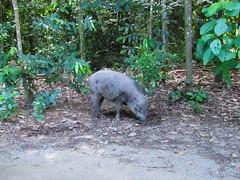 Wild Boar (Ivan Kwan (SG)) Tags: wildboar eurasianwildpig wildpig susscrofa susscrofavittatus singapore chekjawa chekjawawetlands balikchekjawa pestaubin pulauubin