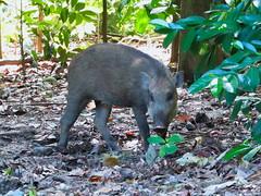 Wild Boar (Ivan Kwan (SG)) Tags: singapore pulauubin wildpig wildboar chekjawa susscrofa eurasianwildpig chekjawawetlands susscrofavittatus pestaubin balikchekjawa
