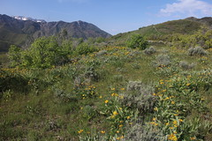IMG_2672 (yellowstonehiker) Tags: dalepeak wasatchfront spring utah june dayhike dayhikes wasatchmountains wasatchpeaks wildflower wildflowers arrowleafbalsamroot grandeurpeak