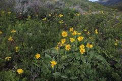 IMG_2611 (yellowstonehiker) Tags: dalepeak wasatchmountains spring utah june dayhike dayhikes wasatchfront wasatchpeaks wildflower wildflowers arrowleafbalsamroot groundsel