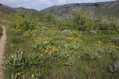 IMG_2667 (yellowstonehiker) Tags: dalepeak wasatchfront spring utah june dayhike dayhikes wasatchmountains wasatchpeaks wildflower wildflowers arrowleafbalsamroot