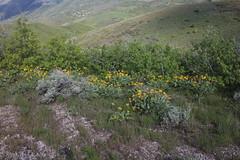 IMG_2660 (yellowstonehiker) Tags: dalepeak wasatchfront spring utah june dayhike dayhikes wasatchmountains wasatchpeaks wildflower wildflowers arrowleafbalsamroot