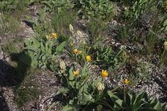 IMG_2653 (yellowstonehiker) Tags: dalepeak wasatchfront spring utah june dayhike dayhikes wasatchmountains wasatchpeaks wildflower wildflowers arrowleafbalsamroot deathcamas