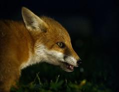 "2019 fox cub. (Vab2009) Tags: fox wild mammal foxcub cub young animal dark light grass ""vulpesvulpes"""