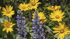 Eye Candy of a Floral Variety (Ed.Stockard) Tags: wildflower flower spring flora lupine arrowleafbalsamroot methow methowvalley wa washington springtime