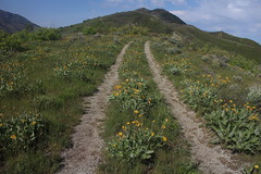 IMG_2669 (yellowstonehiker) Tags: dalepeak wasatchfront spring utah june dayhike dayhikes wasatchmountains wasatchpeaks wildflower wildflowers arrowleafbalsamroot