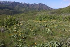 IMG_2662 (yellowstonehiker) Tags: dalepeak wasatchfront spring utah june dayhike dayhikes wasatchmountains wasatchpeaks wildflowers wildflower arrowleafbalsamroot