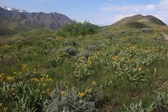 IMG_2659 (yellowstonehiker) Tags: dalepeak wasatchfront spring utah june dayhike dayhikes wasatchmountains wasatchpeaks wildflower wildflowers arrowleafbalsamroot grandeurpeak