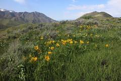 IMG_2657 (yellowstonehiker) Tags: dalepeak wasatchfront spring utah june dayhike dayhikes wasatchmountains wasatchpeaks wildflower wildflowers arrowleafbalsamroot grandeurpeak