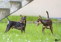 Jeux sous l'escalier (Philippe Bélaz) Tags: nestor ooligan pragois ratierdeprague brun chiens chocolat duo jeux langues vert