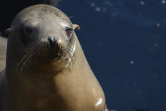 Portrait of a sea lion (pacgrove) Tags: sealion animal aquatic montereybay ocean water