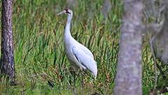 Wild Whooping Crane - Florida (QuakerVille) Tags: crane whoolingcrane bigwhitebird redhead bird florida rarebird jonmarkdavey