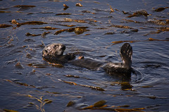 Sea Otter (pacgrove) Tags: ca usa