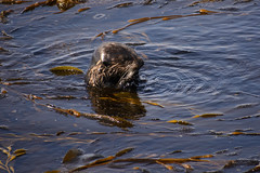 Sea Otter (pacgrove) Tags: animal aquatic montereybay ocean water seaotter