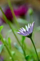 Evening meditation (James_D_Images) Tags: osteospermum flower petals garden stem reaching bending green purple bokeh eveninglight