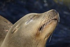 Younger Sea Lions (pacgrove) Tags: sealion animal aquatic montereybay ocean water