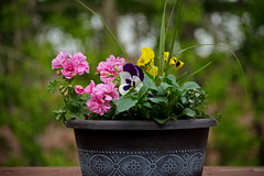 153/365 Flower Pot (OhWowMan) Tags: 365the2019edition 3652019 day153365 02jun19 ohwowman nikon d3300 acdseepro9 my2019challenge 365project animageaday dailyphotography flowers flower flowerpot backyard deck spring springtime springtimeinalaska alaska anchorage nature outdoors outside nikkor