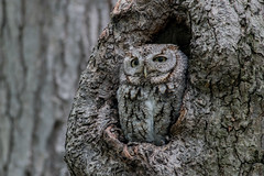 eastern screech owl wild (Mel Diotte) Tags: eastern screech owl wild nature wings featherstree eyes mel diotte explore