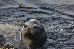 Older Sea Lion (pacgrove) Tags: sealion animal aquatic montereybay ocean water