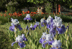 119 : 86 rise and shine (Karen Juliano) Tags: rise shine morning flowers garden iris purple lavender poppies orange colorado