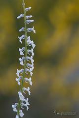 Anarrhinum laxiflorum Boiss (Lucas Gutiérrez) Tags: anarrhinumlaxiflorum sierranevada laalpujarra portugos granadanatural floradecolorblanco