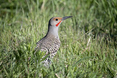 Flicker in the Grass (TW Olympia) Tags: northern flicker turnbull national wildlife refuge