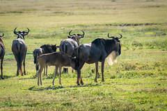 _DSC4135 (Viajar Code: Veronica) Tags: gnu gnú ngorongoro nyu wildebeest ñu