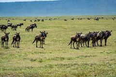 _DSC4313 (Viajar Code: Veronica) Tags: gnu gnú ngorongoro nyu wildebeest ñu
