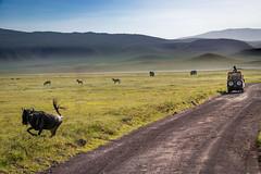 _DSC4155 (Viajar Code: Veronica) Tags: gnu gnú ngorongoro nyu wildebeest ñu