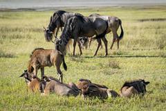 _DSC4153 (Viajar Code: Veronica) Tags: gnu gnú ngorongoro nyu wildebeest ñu