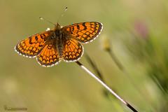 Melitaea parthenoides (Lucas Gutiérrez) Tags: meltihaeaparthenoides parquenacionaldesierranevada 2000mprados capileira laalpujarra mariposas buterfly grandanatural