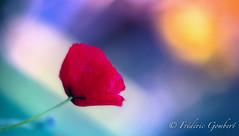 Morning Curiosity (frederic.gombert) Tags: flower flowers poppy sunset sunrise color red bloom blossom spring summer macro plant nikon