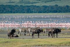 _DSC4175 (Viajar Code: Veronica) Tags: au ave bird flamenc flamenco flamingo gnu gnú ngorongoro nyu ocell pajaro pájaro wildebeest zebra ñu