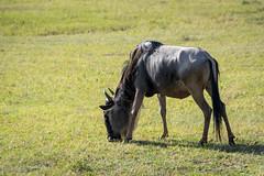 _DSC4154 (Viajar Code: Veronica) Tags: gnu gnú ngorongoro nyu wildebeest ñu