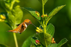 Rufous Hummingbird (Waspane) Tags: rufous birds apodiformes hummingbirds